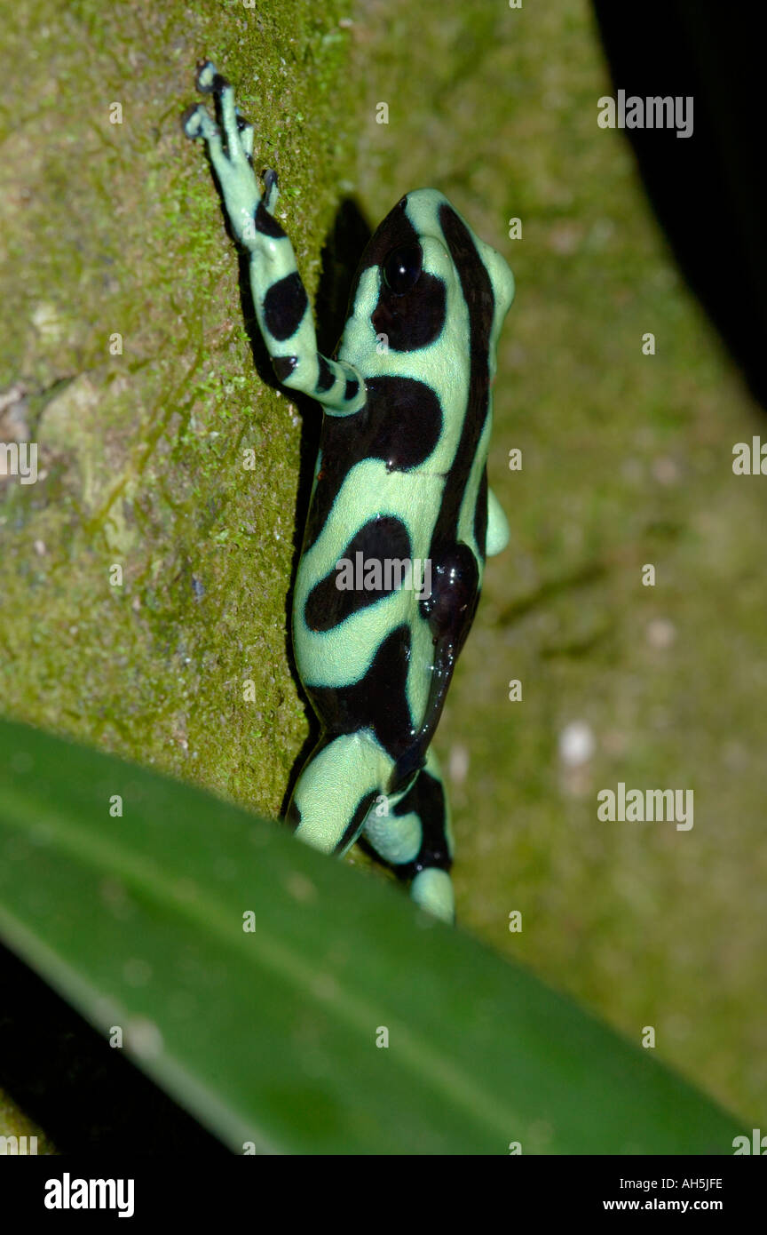 Green and Black Poison Frog Dendrobates auratus in primary rainforest Chilamate Costa Rica The male is carrying a tadpole - Stock Image