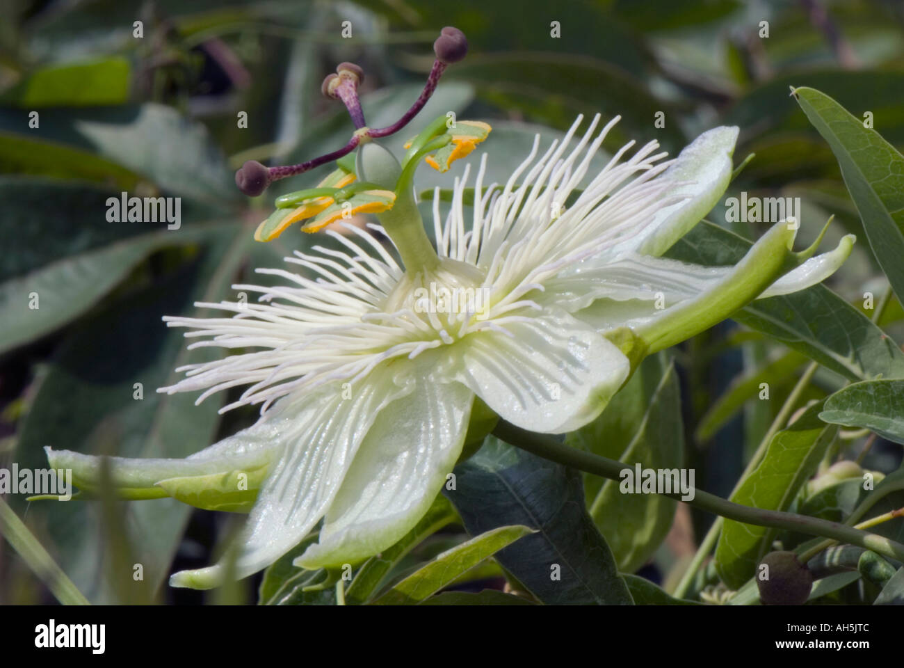 Passiflora Caerulea Constance Elliot Passion Flower Stock Photos