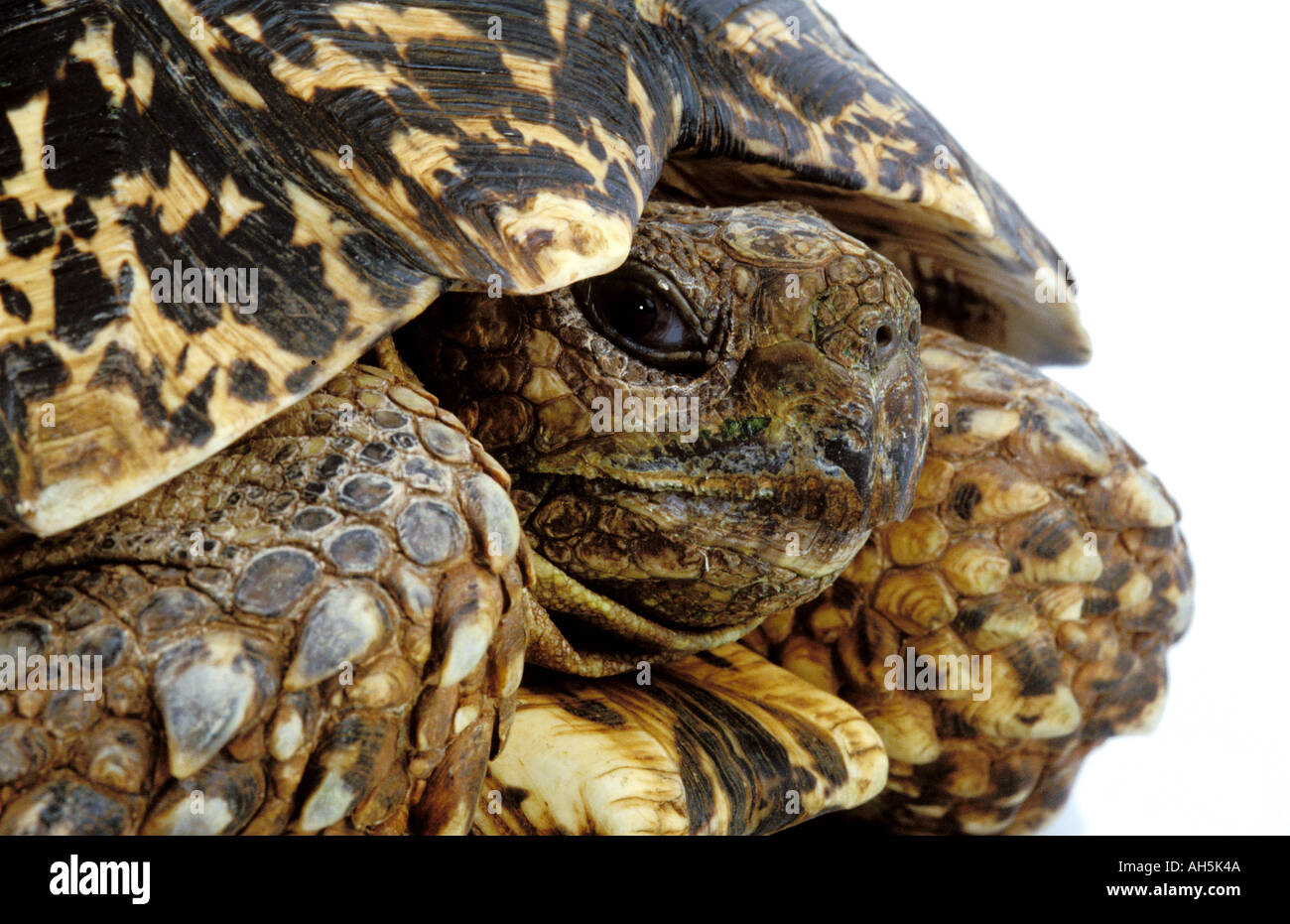 Turtle Tortue Leopard Geochelone Pardalis Labat Rouquette VWPics com - Stock Image