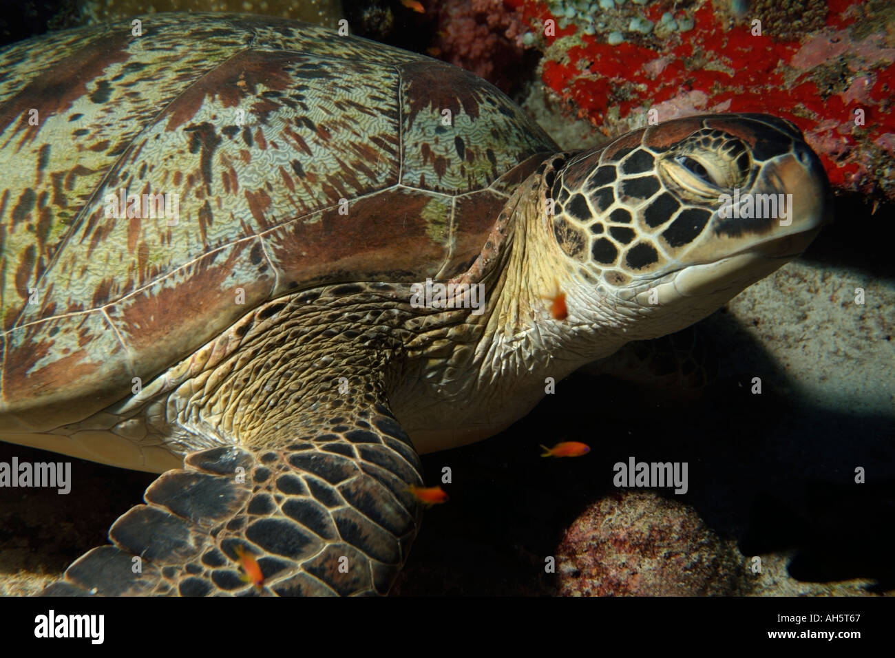 Green Turtle - Chelonia mydas - swimming on a seabed - Stock Image