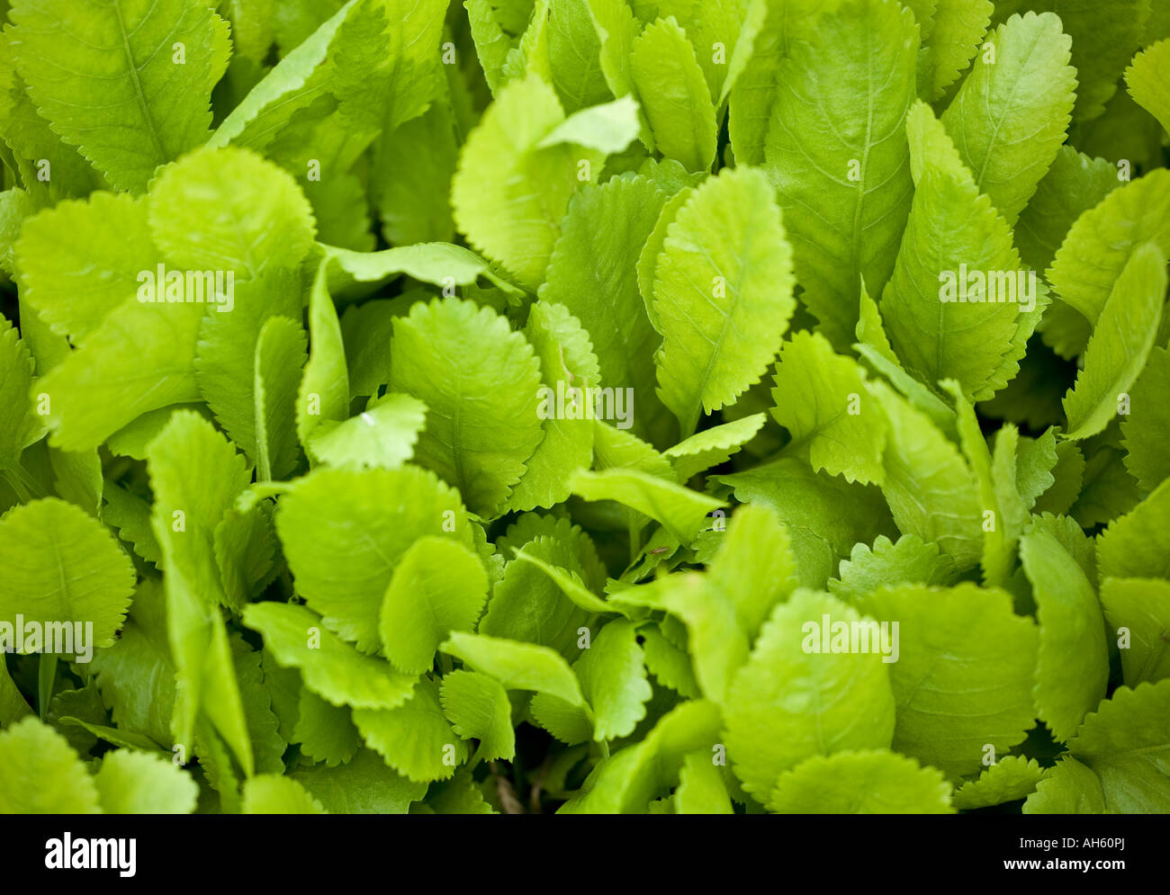 Alecost leaves Stock Photo