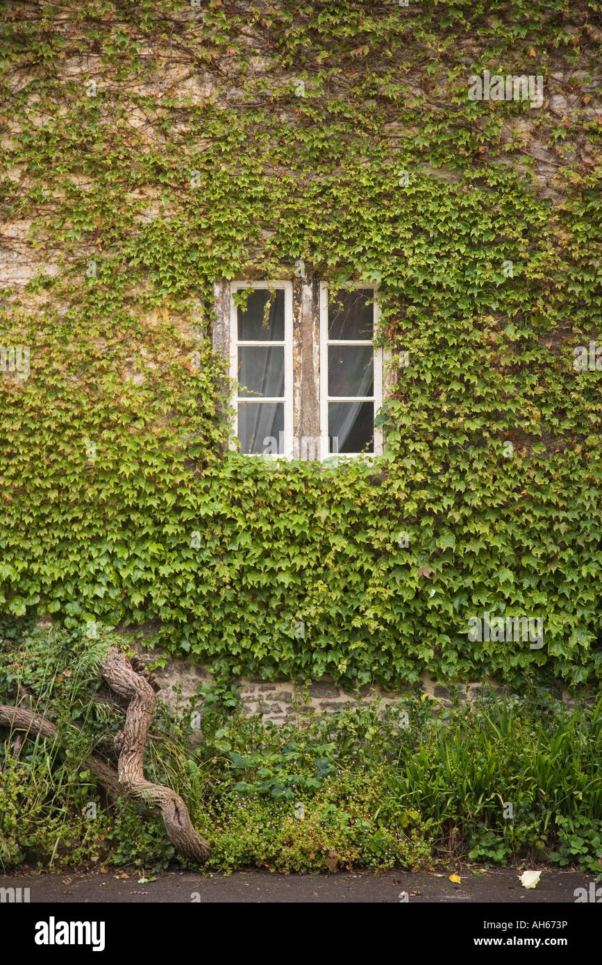 Cottage window and creeping plant Virginia creeper Lacock Wiltshire - Stock Image