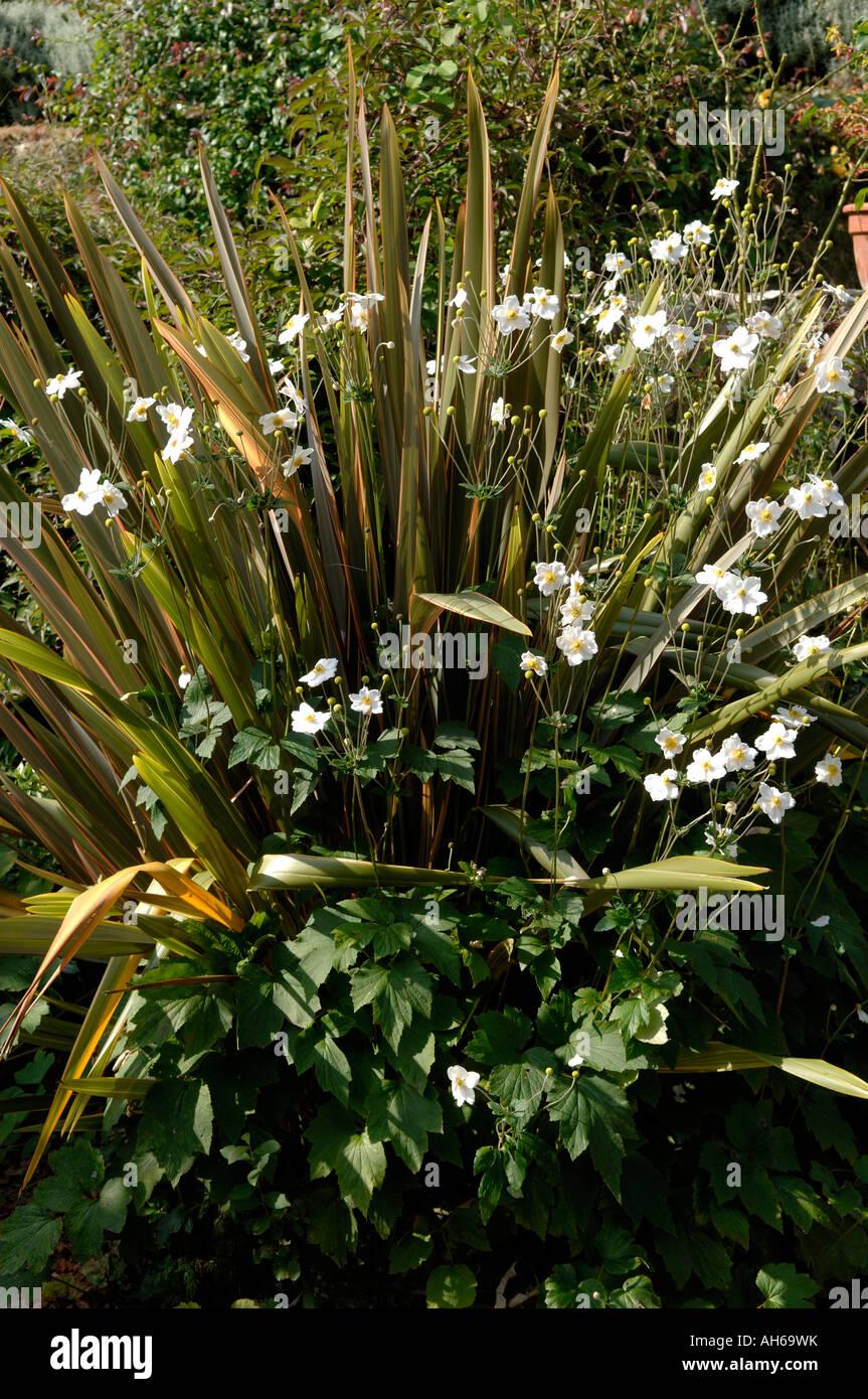 New Zealand flax Phormium Sundowner with flowering Anemone x hybrida Honorine Jobert - Stock Image