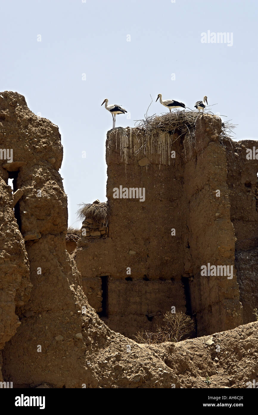 Storks in their nests on the roofs of Agard N Ouzrou village in Aït Bouguemez valley High Atlas region Morocco - Stock Image
