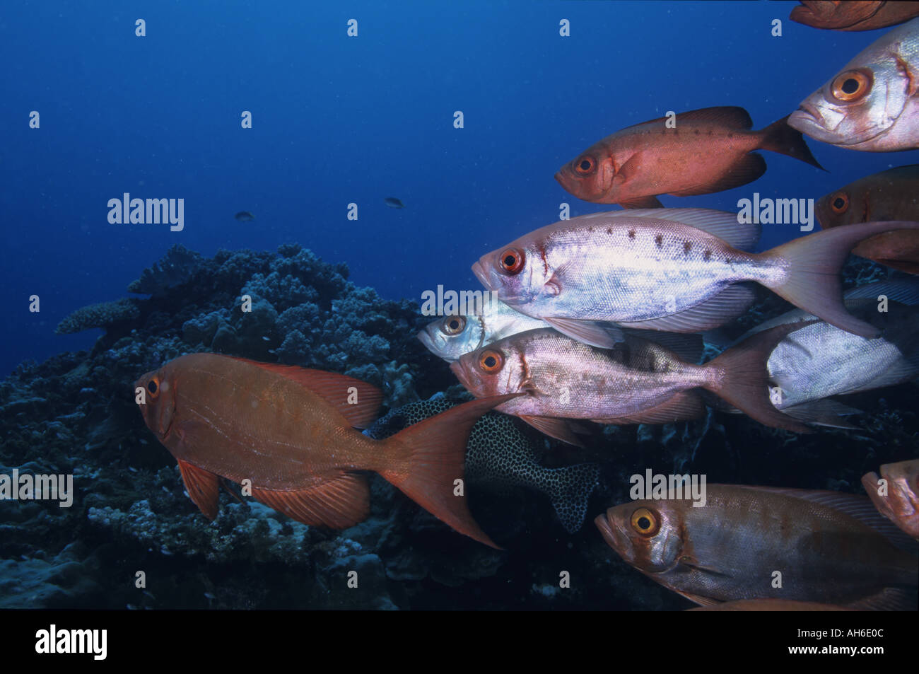 School of Blotcheye Soldierfish (Myripristis Berndti) and Redcoat Squirrelfish (Sargocentron rubrum), Noumea, New Caledonia - Stock Image