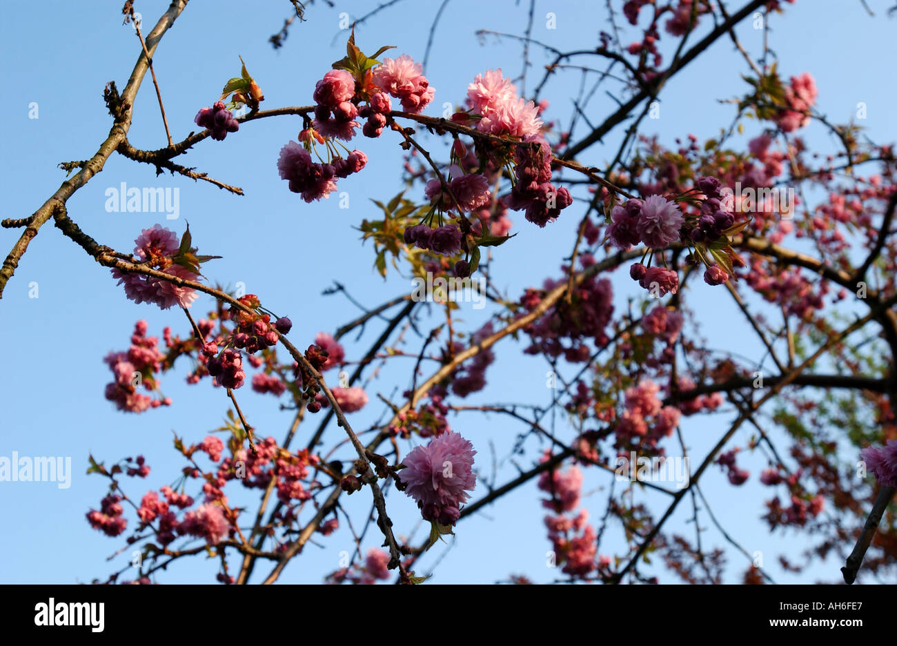 Dark pink blossom with blue sky behind  Stock Photo