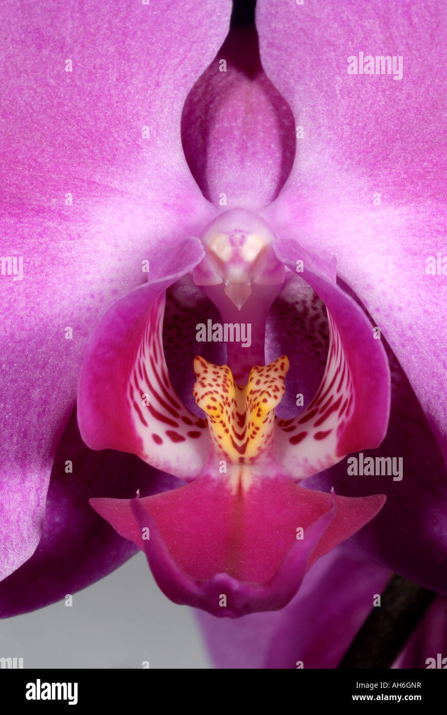 Flower and flower parts of an orchid Phalaenopsis pot plant - Stock Image