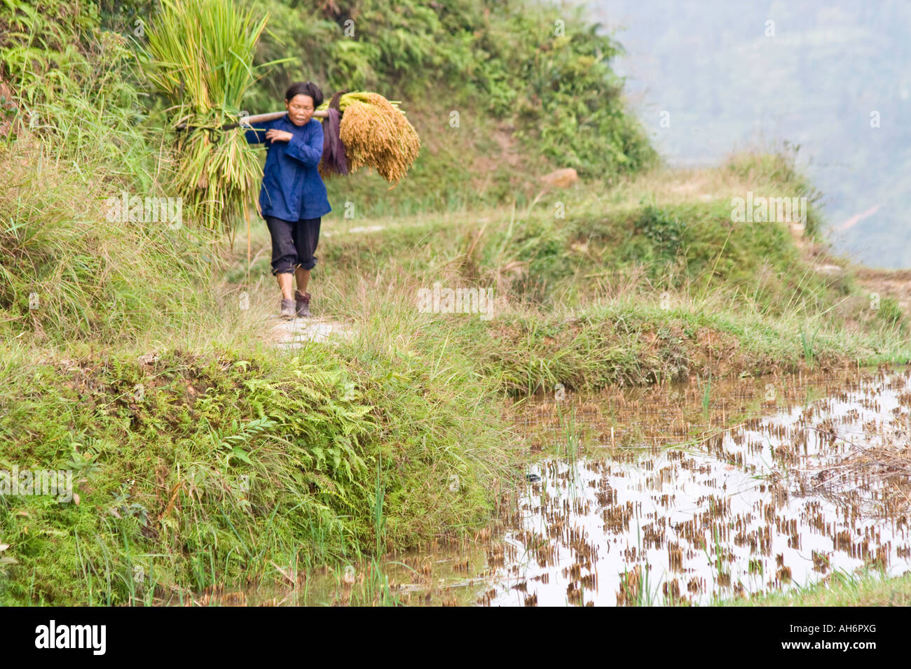 Dong Farmer Woman Shoulder Carrying Harvest from the Fields Zhaoxing China Stock Photo