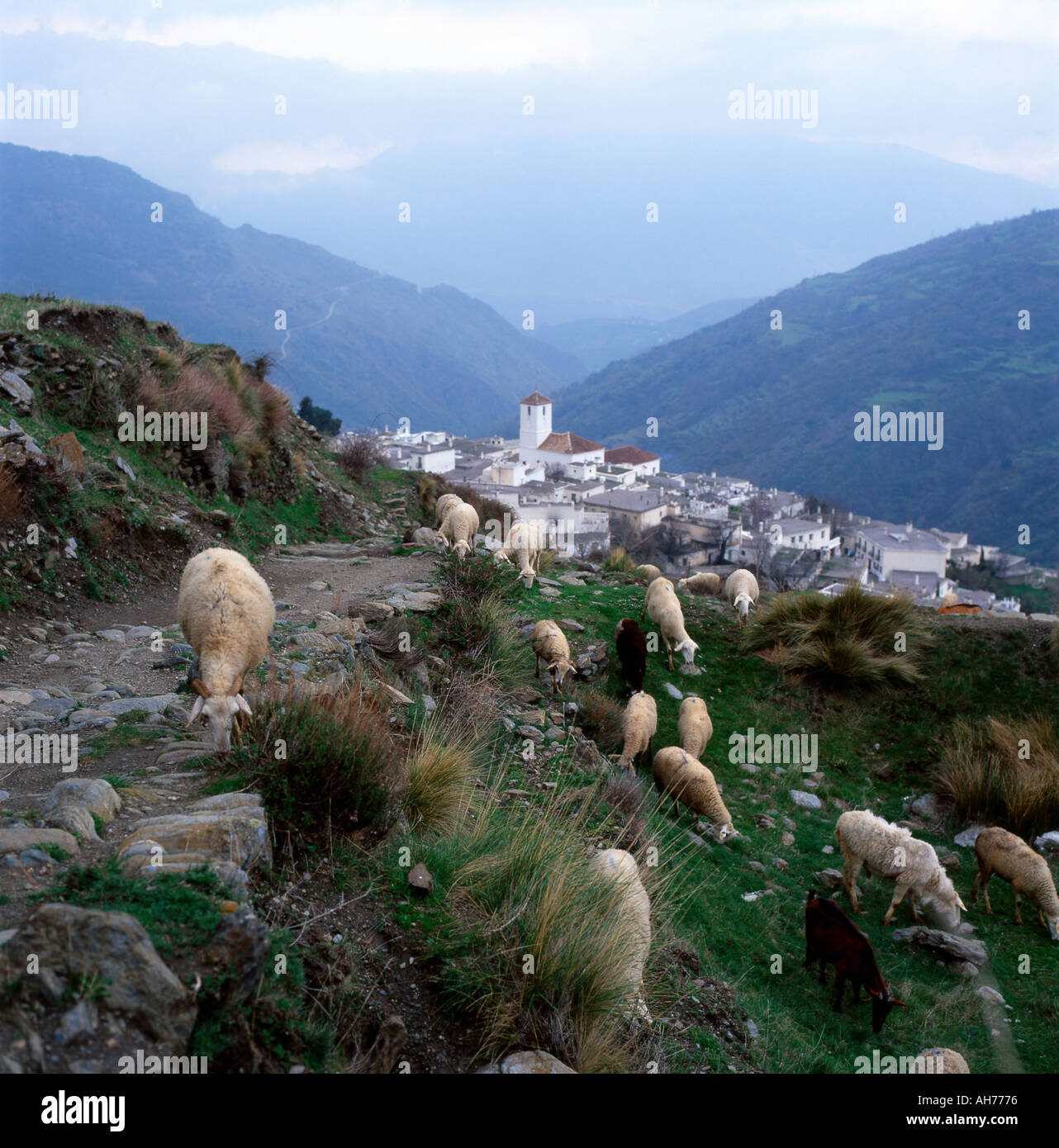 Sheep grazing along a footpath above Capileira an Alpujarras village Sierra Nevada Mtns in Andalusia Southern Spain KATHY DEWITT - Stock Image