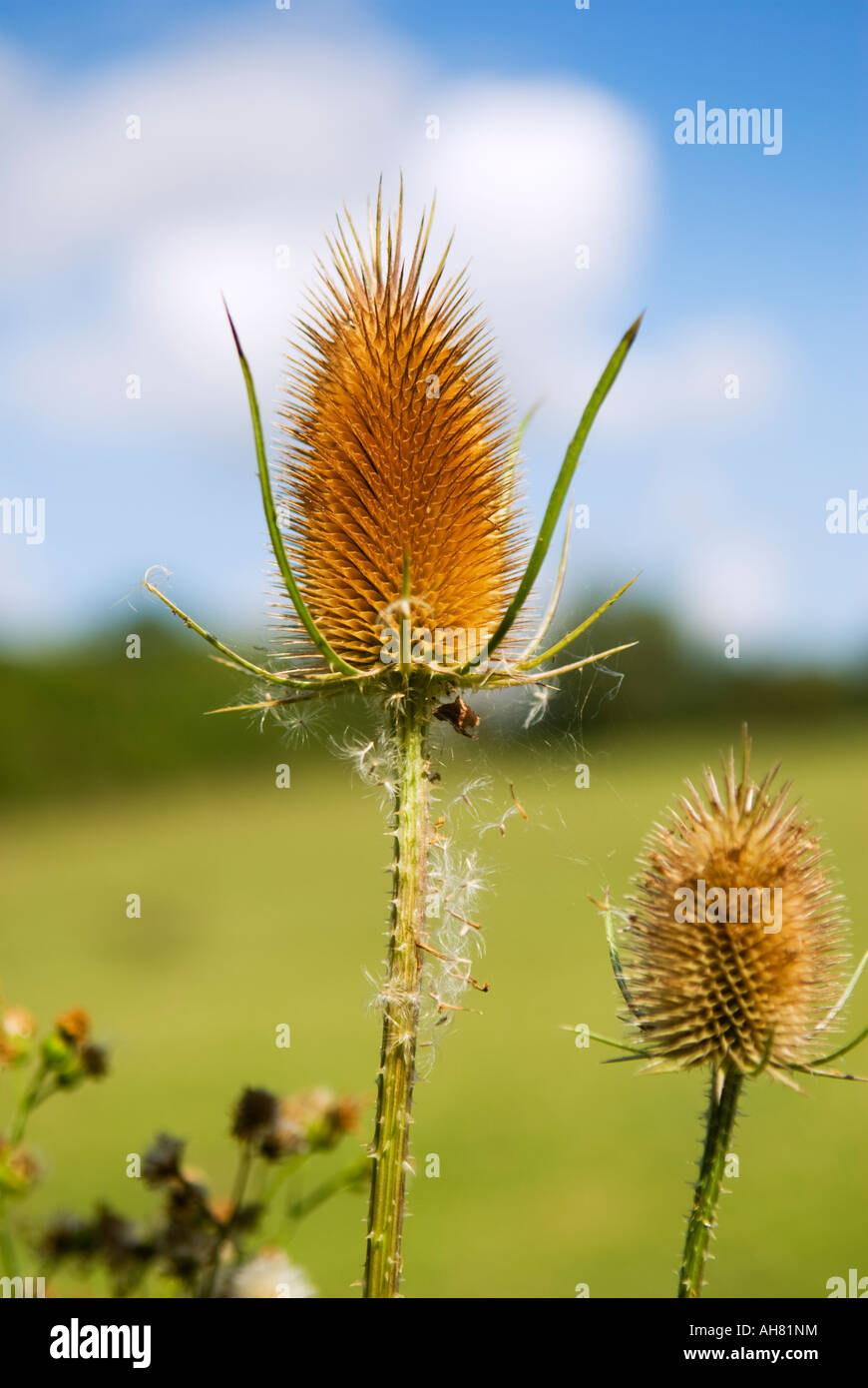 Teasel Plant Dispsacus Fullonum Photographed Against An Artistically Blurred Blue Sky And Clouds - Stock Image