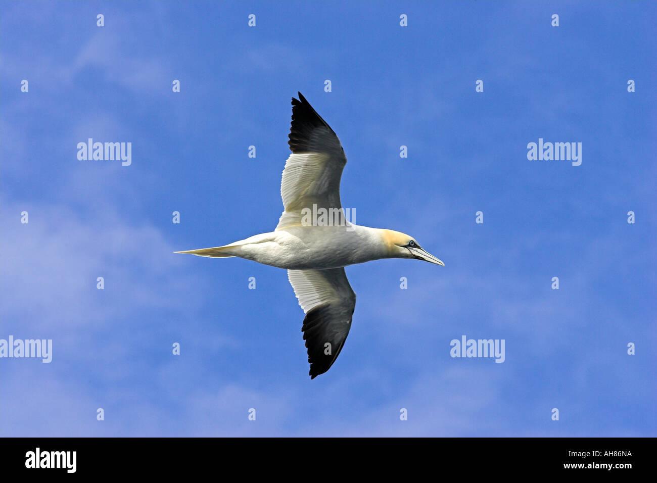 gannet in flight - Stock Image