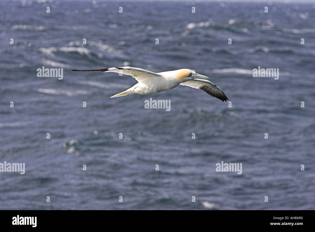 gannet flying in rough weather - Stock Image