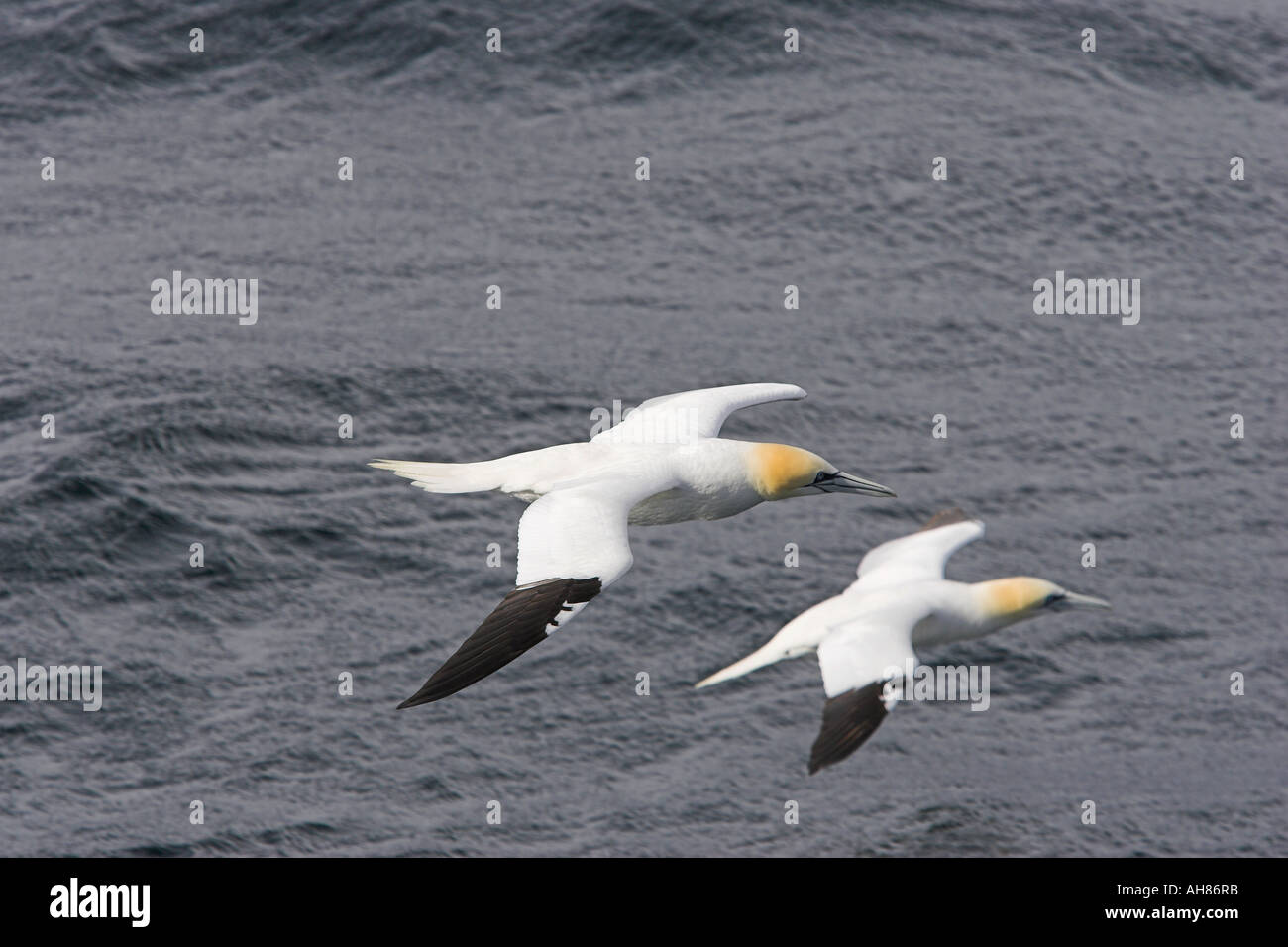 a pair of gannets flying - Stock Image