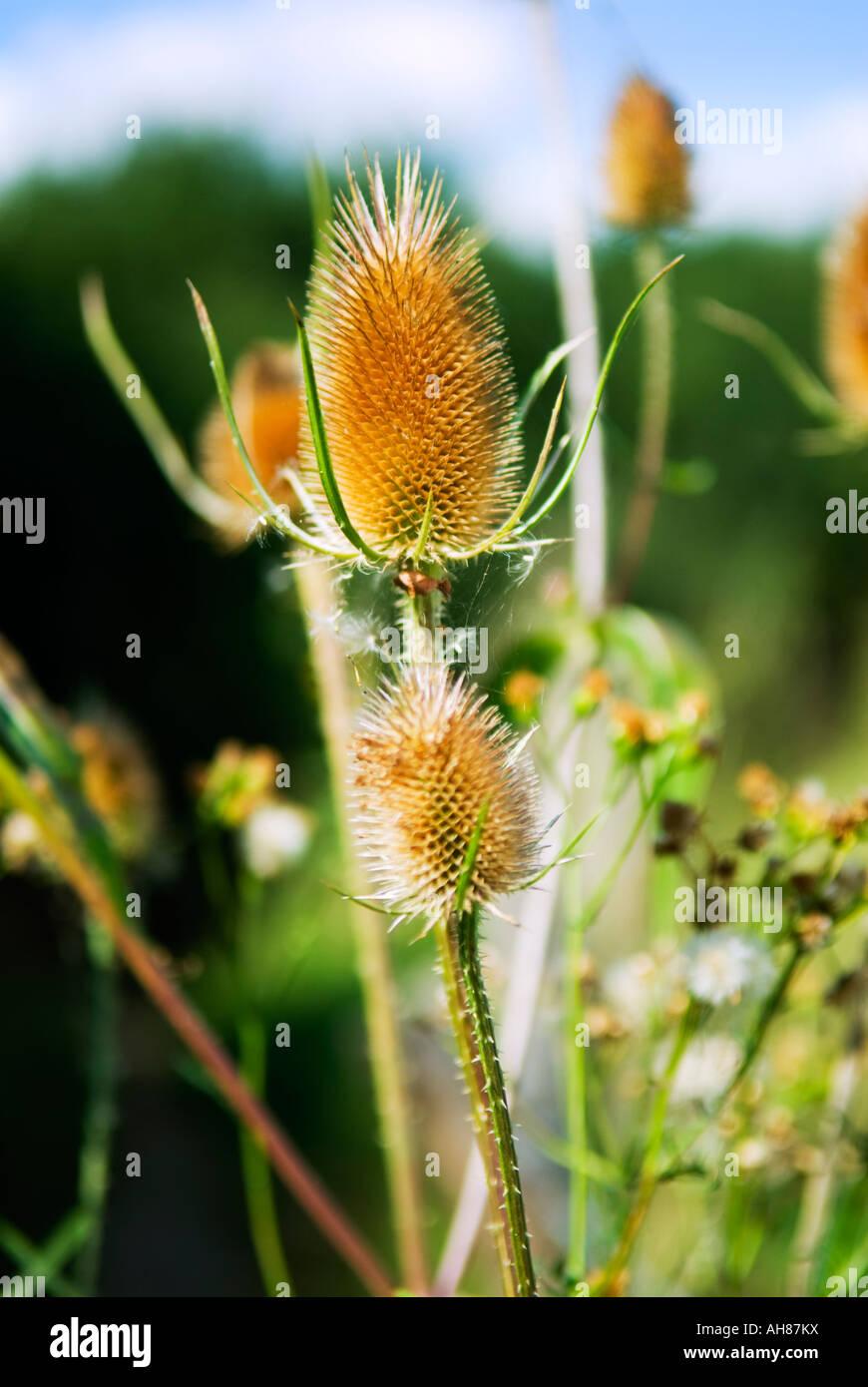 Teasel Plant Dispsacus Fullonum - Stock Image