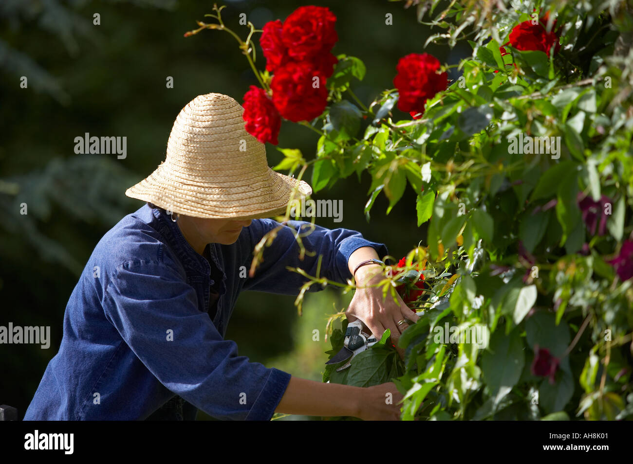 woman model released pruning roses in a garden Dorset England UK - Stock Image