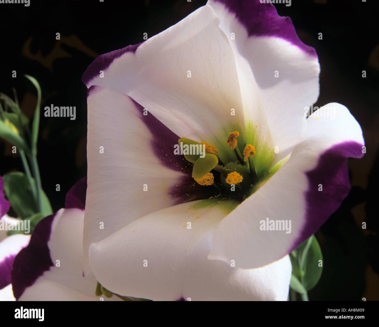 STUDIO STILL LIFE Close up image of a purple and white Eustoma russellianum Charm Picotee Blauw Prairie Gentian - Stock Image