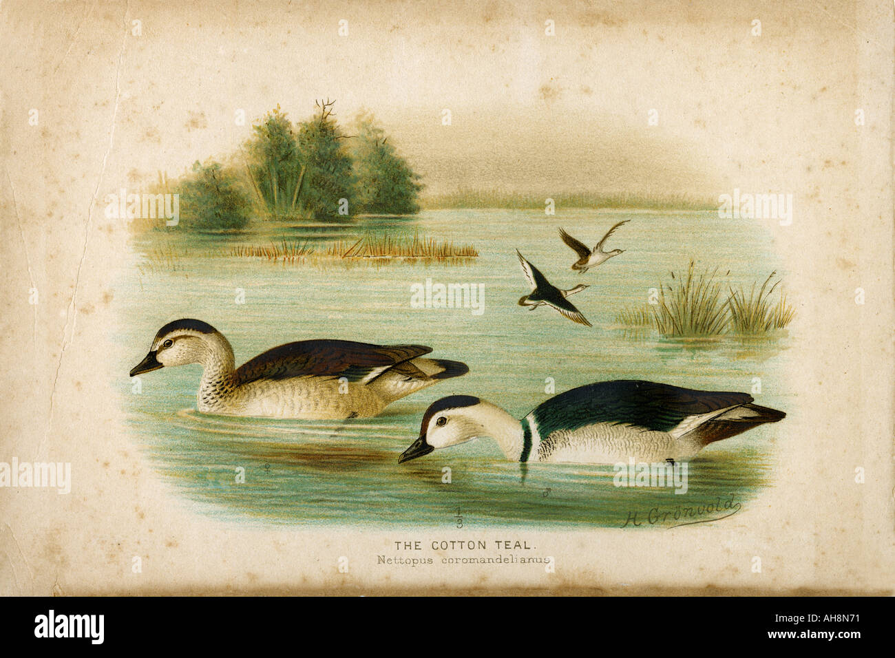 Nature History Painting of two birds cotton teal Stock Photo