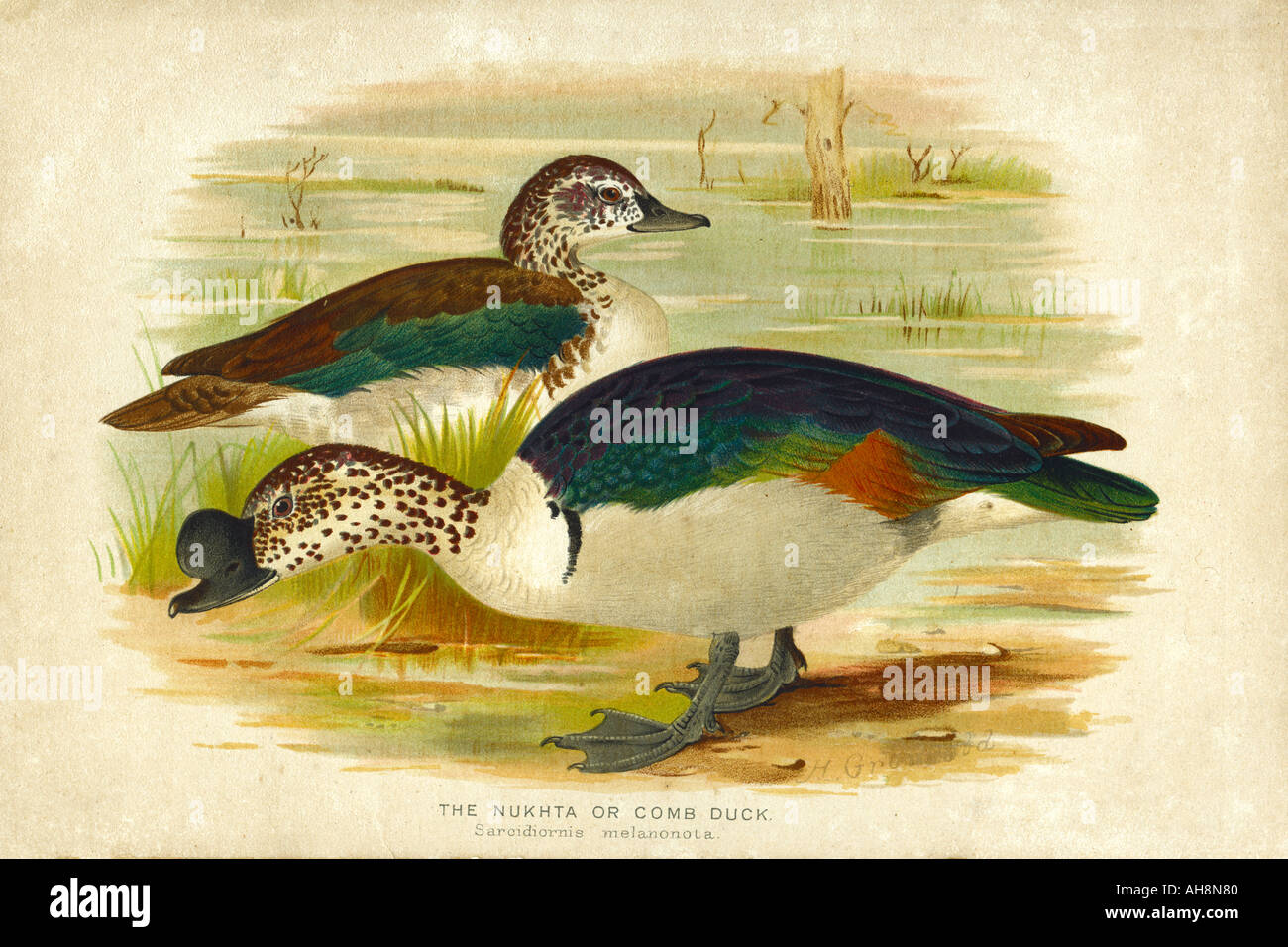 AAD71540 Nature History Painting of two Nukta comb duck bird Stock Photo