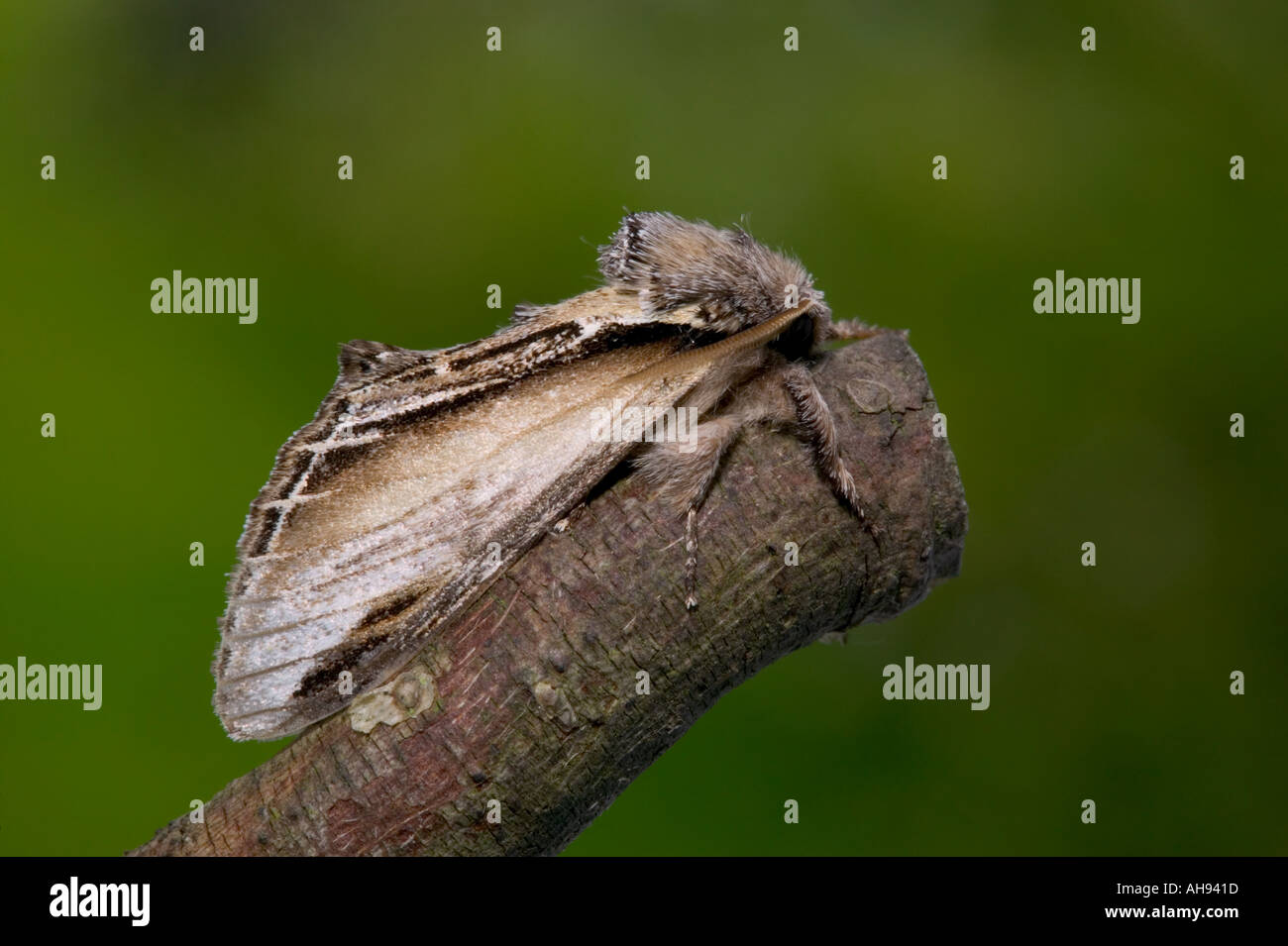 Swallow Prominent (Pheosia tremula) at rest on twig Potton Bedfordshire - Stock Image