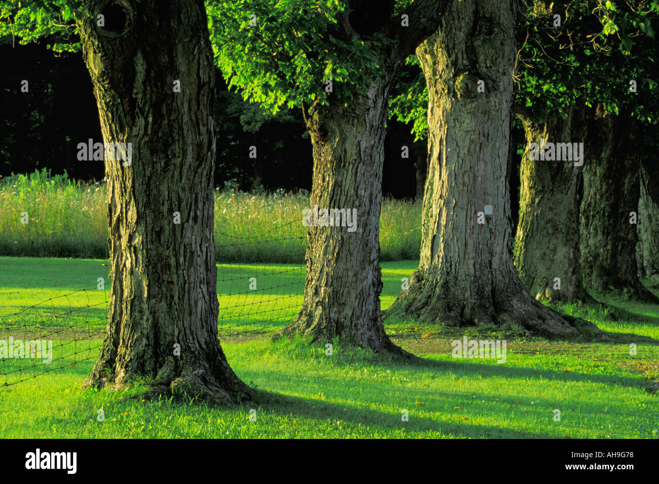 Oak Trees lined up on a rural road in Ohio - Stock Image