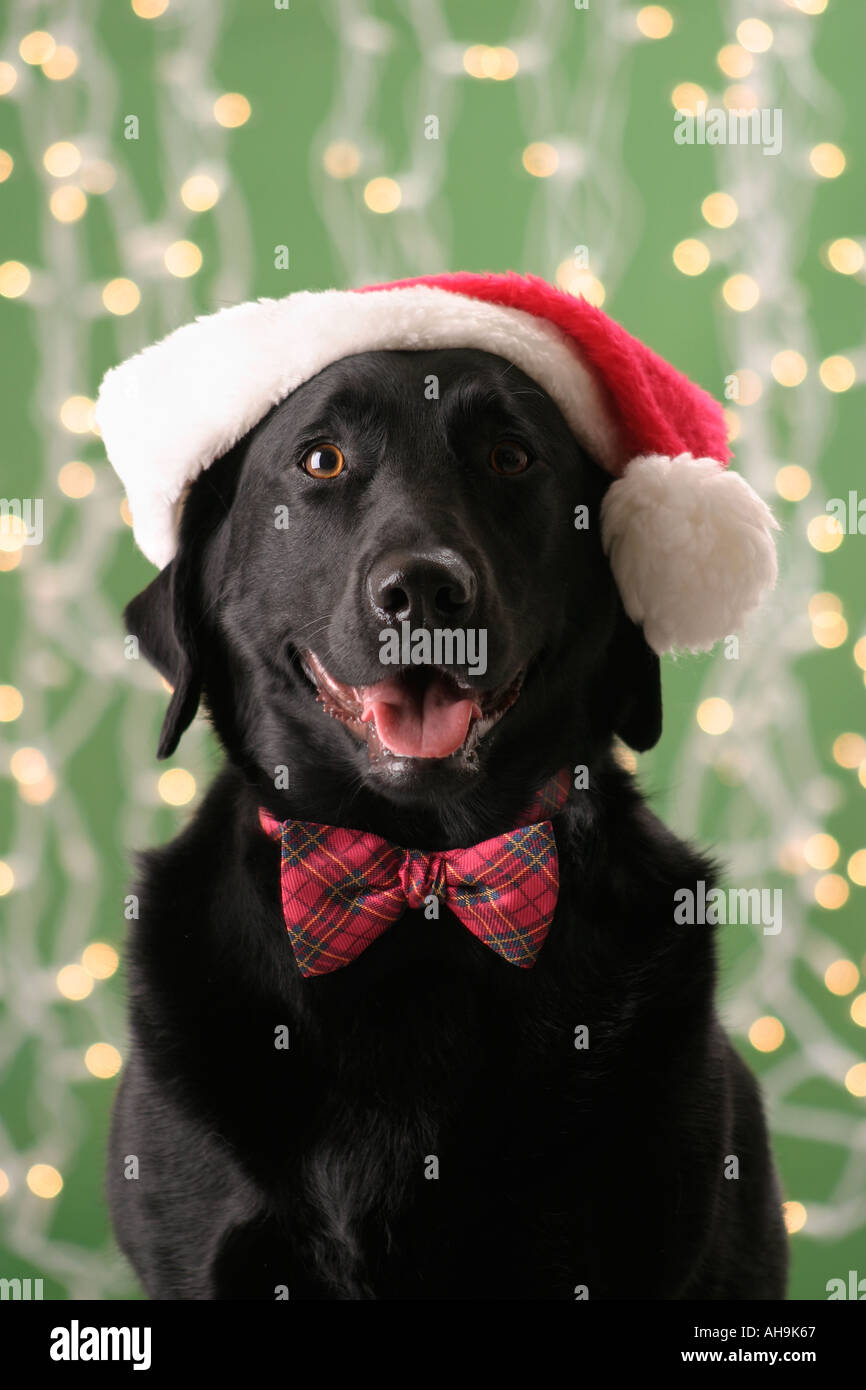 Black Lab with Santa Hat Stock Photo  4702054 - Alamy 77d043682e3