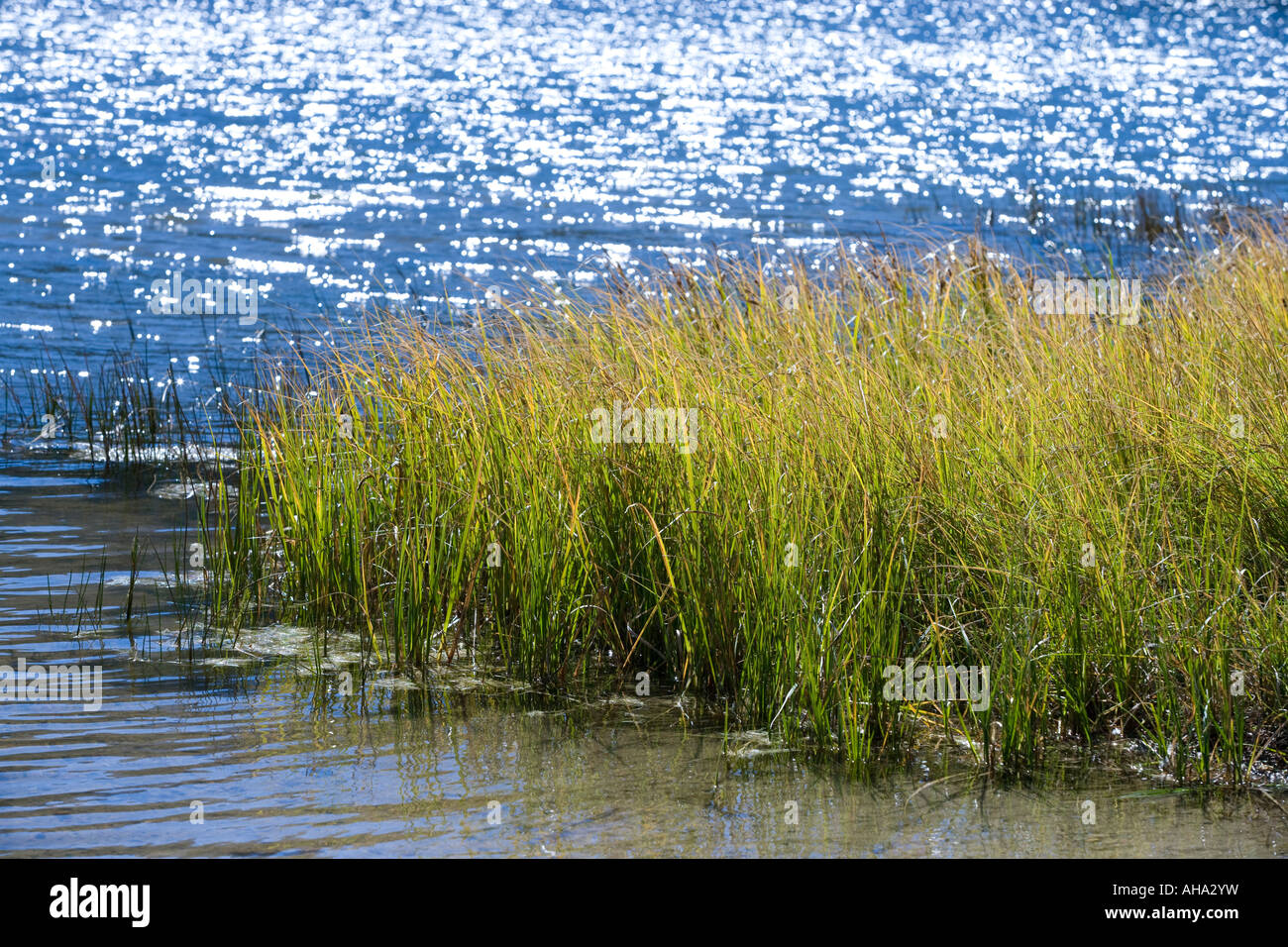 Grass reeds at the edge of a Colorado Lake - Stock Image