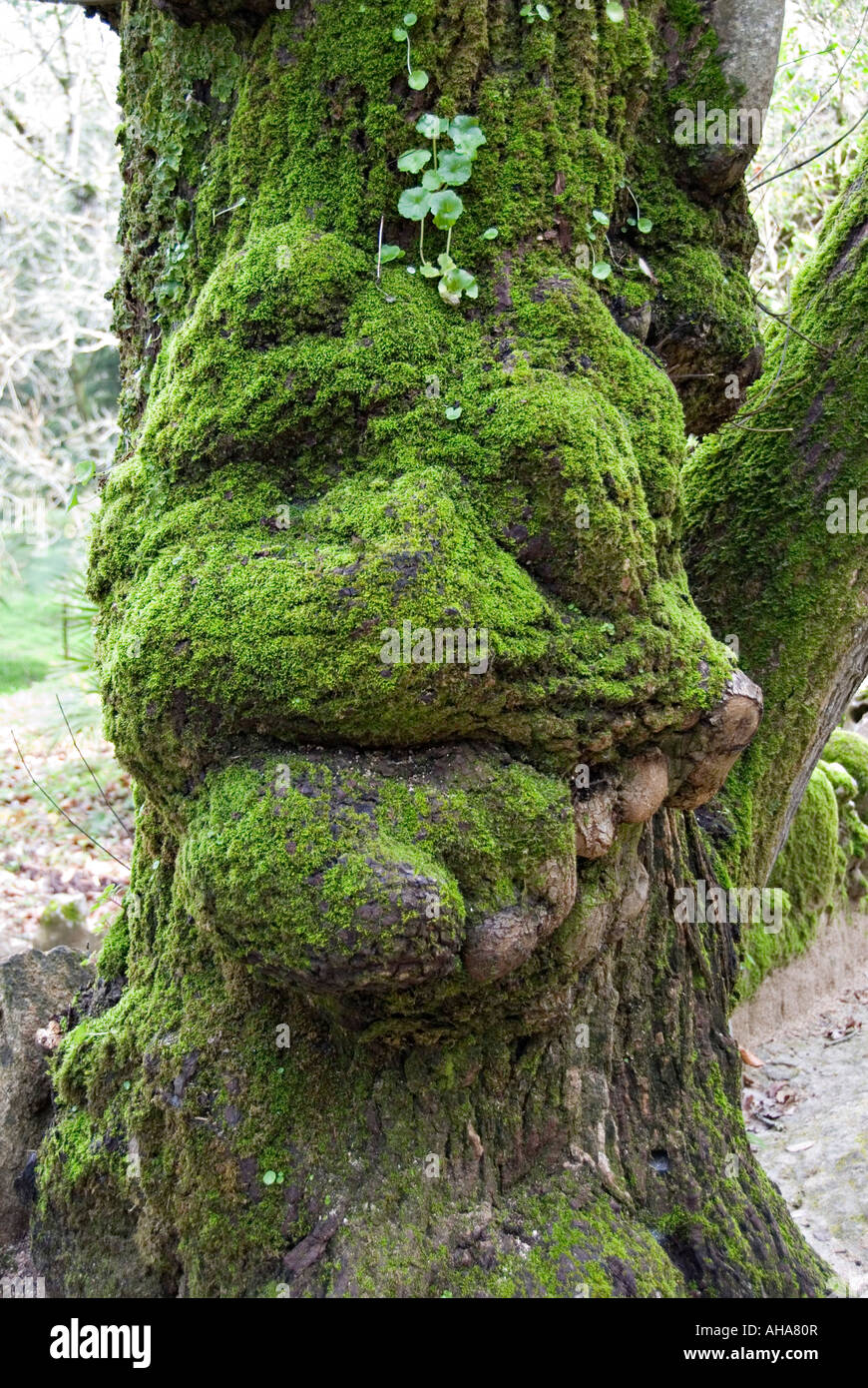 Moss-covered tree bole resembling a grotesque face at the Quinta da Regaleira, Sintra, Portugal - Stock Image