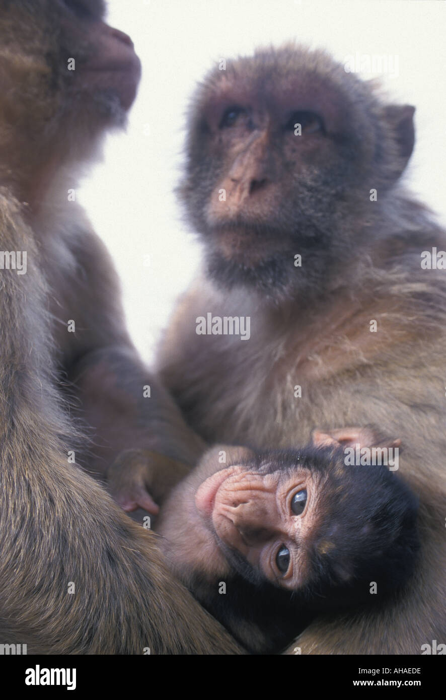 Macaques - Stock Image
