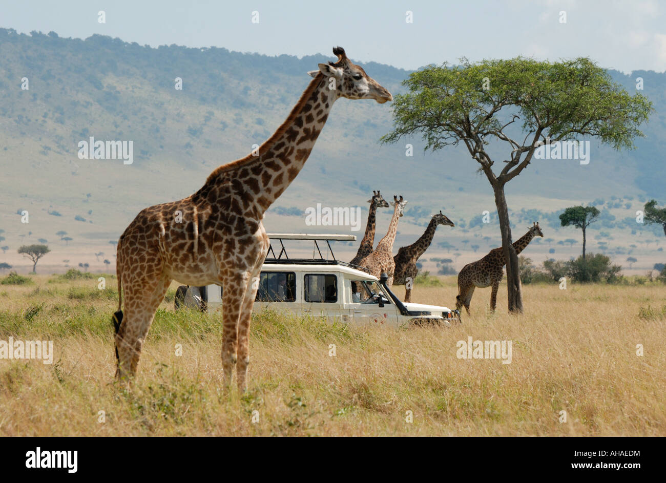 Landcruiser on a game drive with five Masai or Common Giraffe in the Masai Mara National Reserve Kenya East Africa - Stock Image