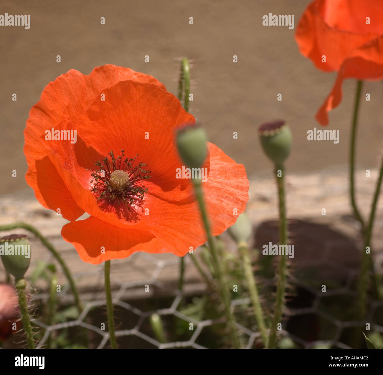 Color image of some red poppy flowers poking up through chicken wire ...