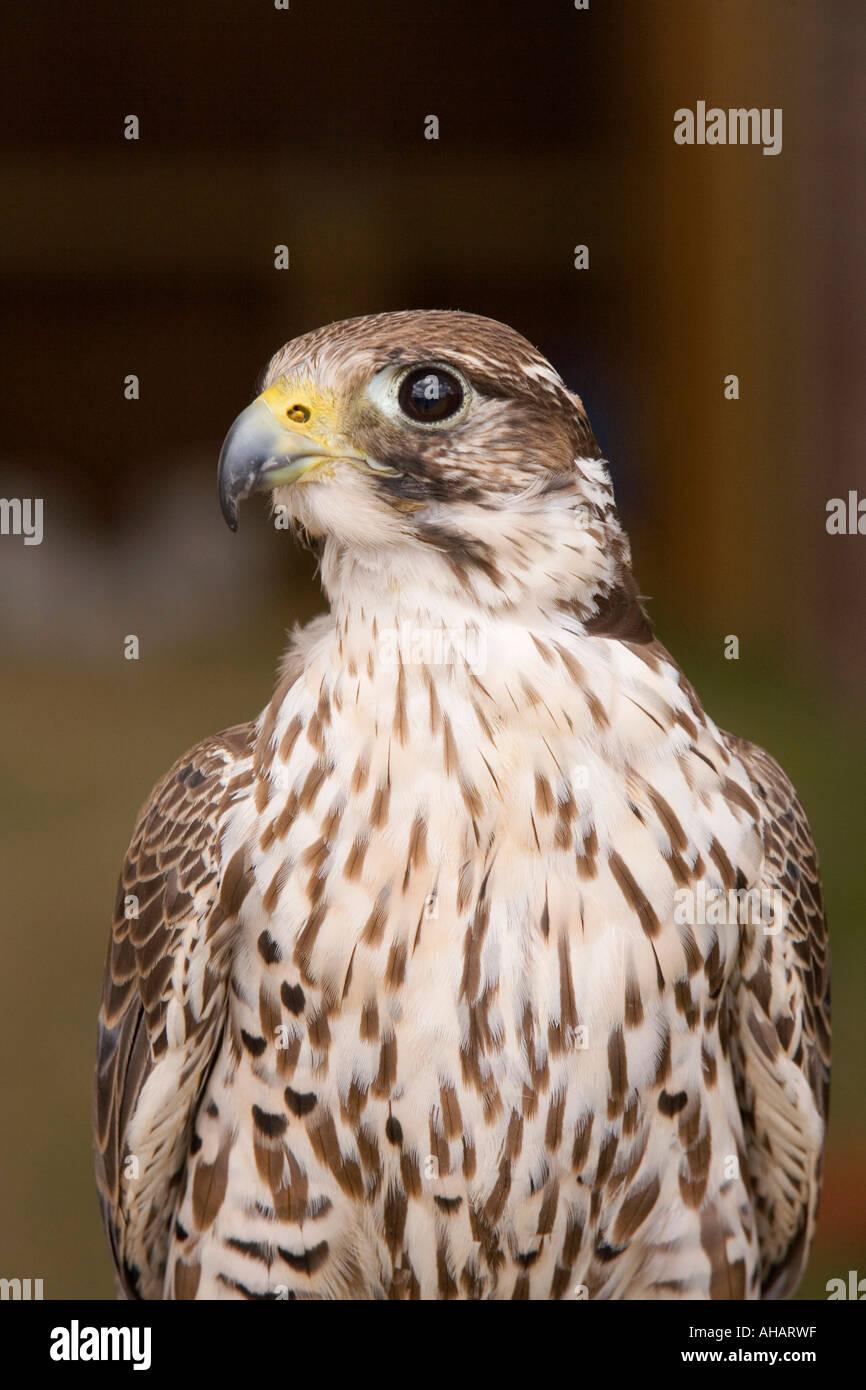 UK Hampshire Romsey Broadlands CLA Game Fair peregrine falcon merlin cross - Stock Image