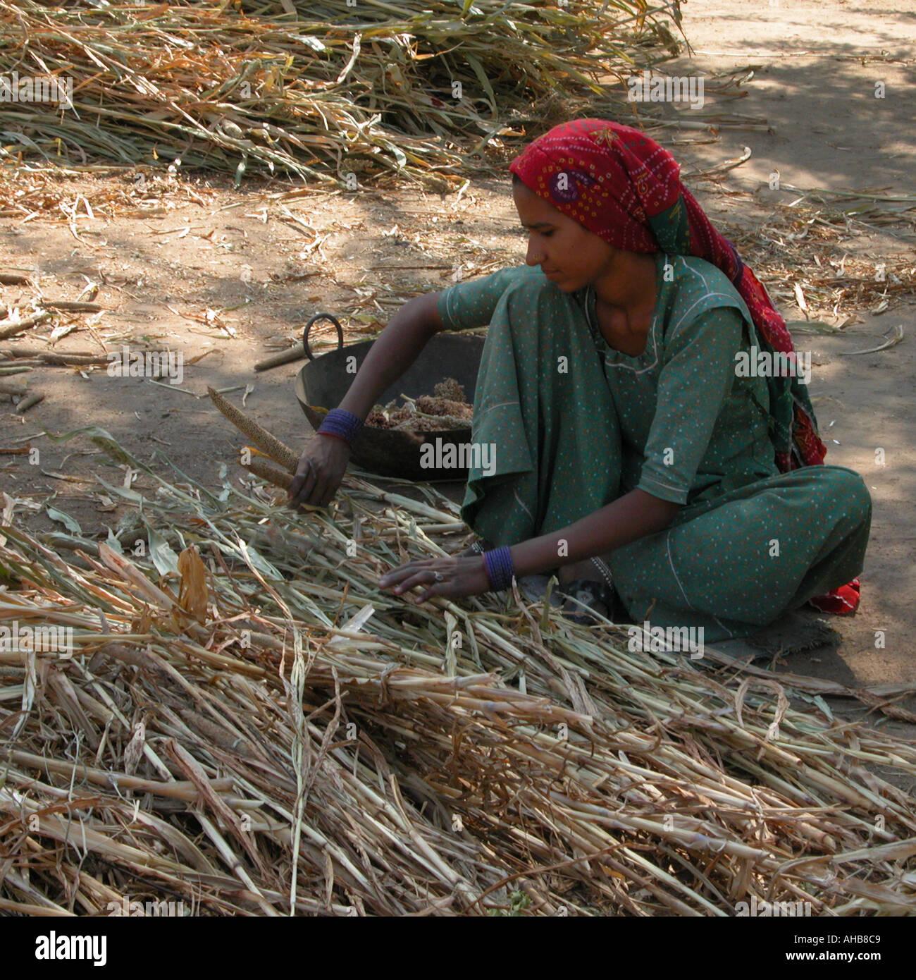 Bishnoi woman sorting bajra cobs India Rajasthan - Stock Image
