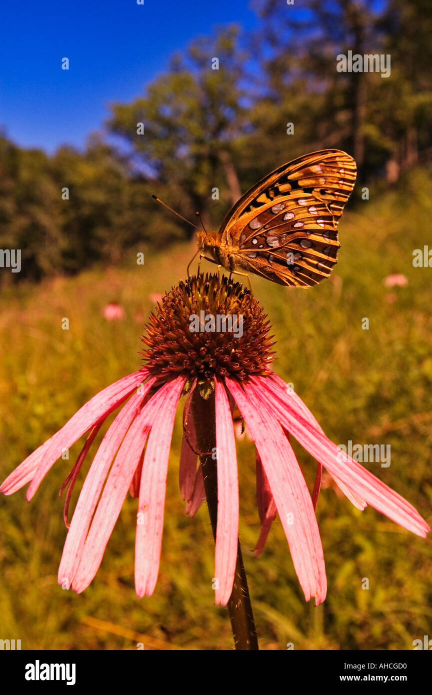 Great Spangled Fritillary Butterfly Speyeria cybele On Pale Purple Coneflower Echinacea pallida - Stock Image