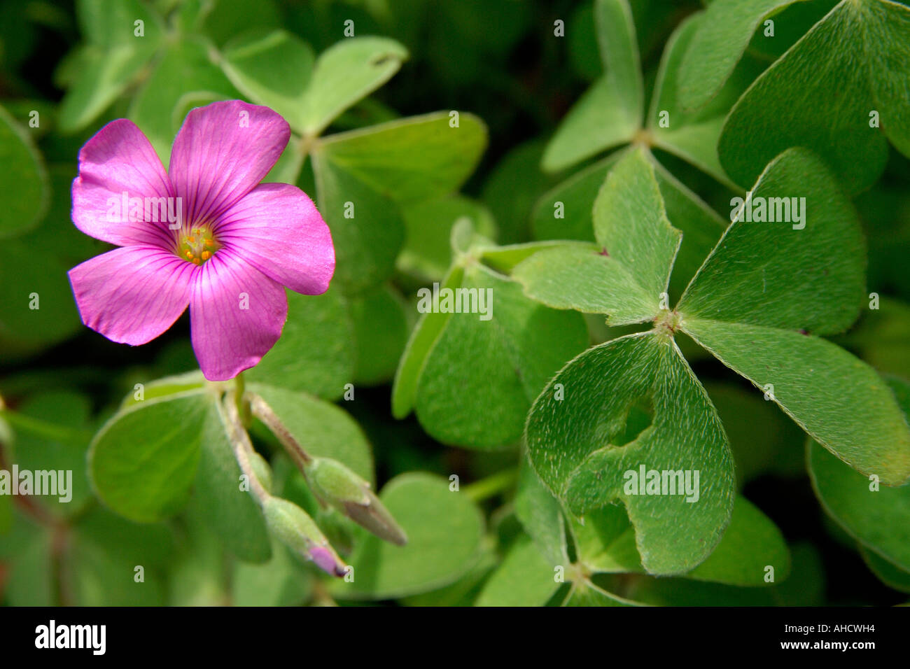 Pink clover flower and buds surrounded by clover leaves in bright pink clover flower and buds surrounded by clover leaves in bright sunshine mightylinksfo