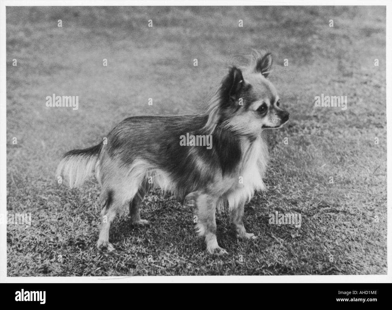 Chihuahua Dogs Black And White Stock Photos Images Alamy Wolf Cihuahua Fall Cub Image