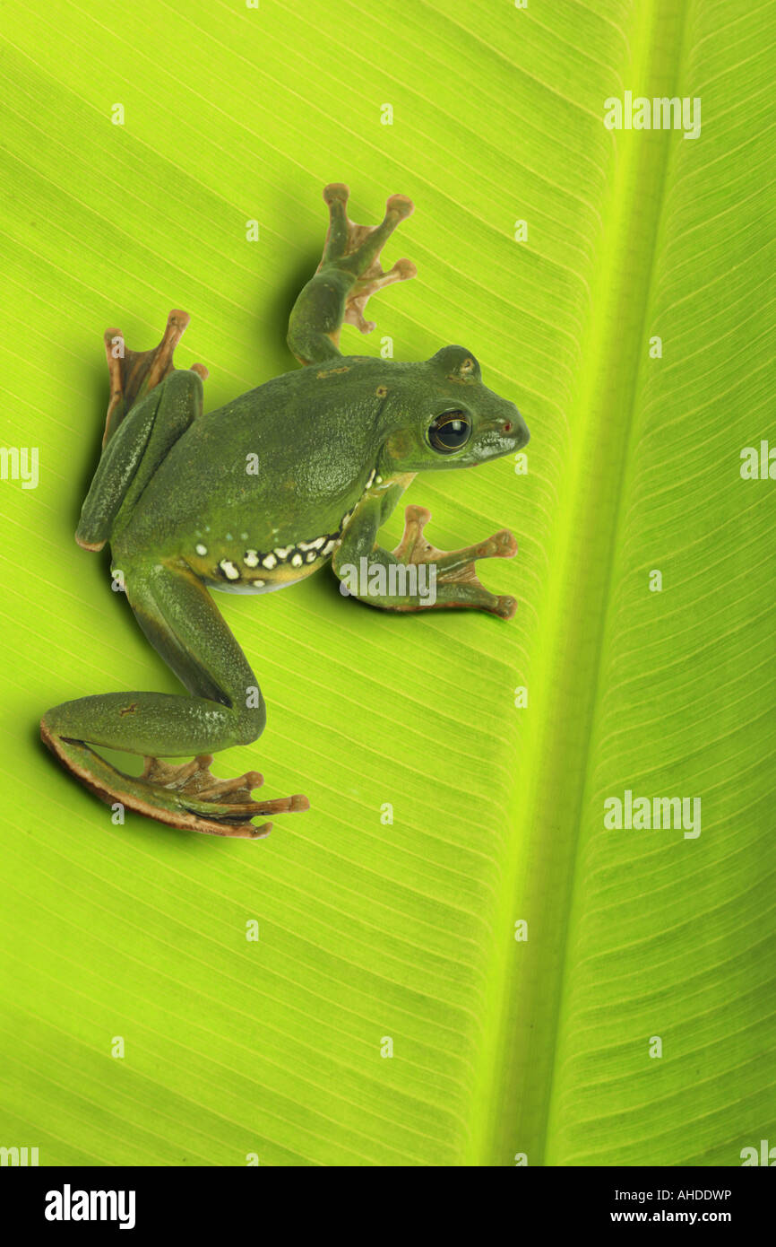 Blanford's whipping frog, asian gliding tree frog, asian gliding treefrog (Rhacophorus dennysi), sitting on leaf Stock Photo