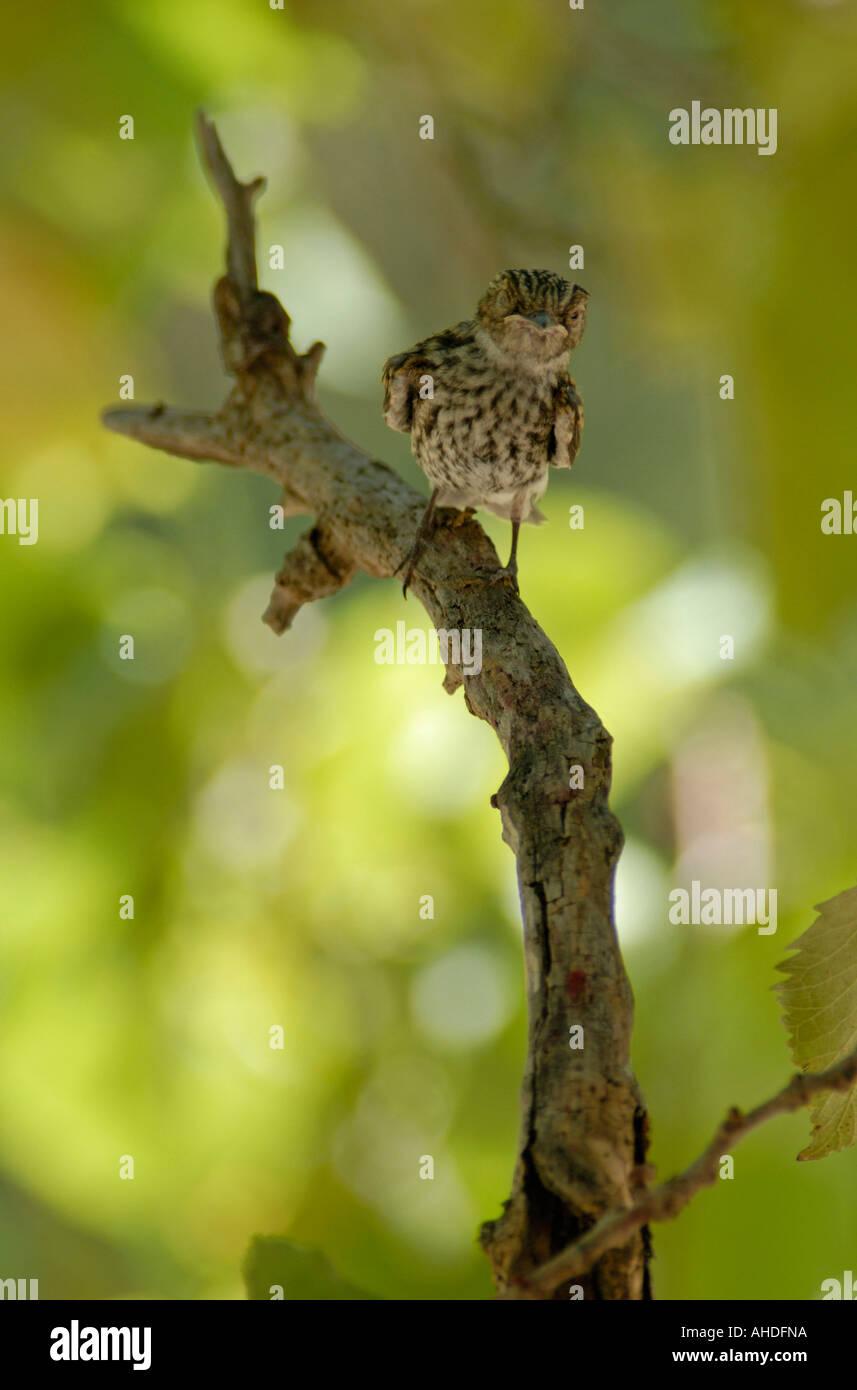 Passerine chick on branch - Stock Image