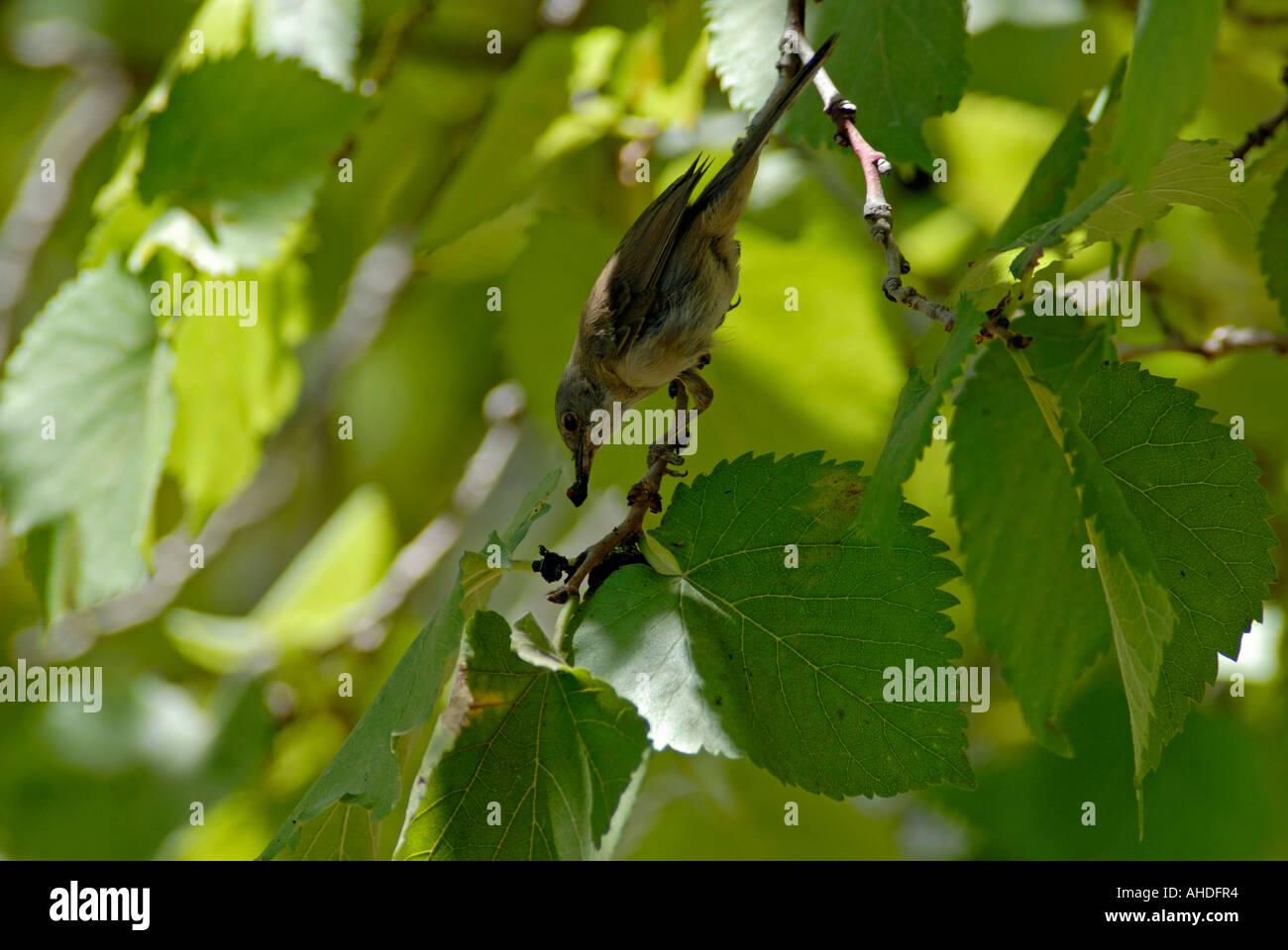 Passerine feeding on fruiting tree - Stock Image