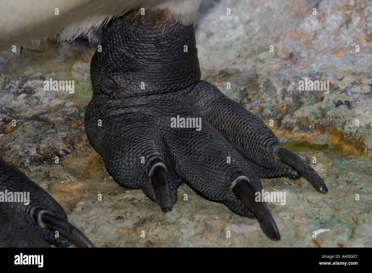 Foot of King penguin Aptenodytes patagonicus Birdland Bourton on the Water Cotswolds UK - Stock Image