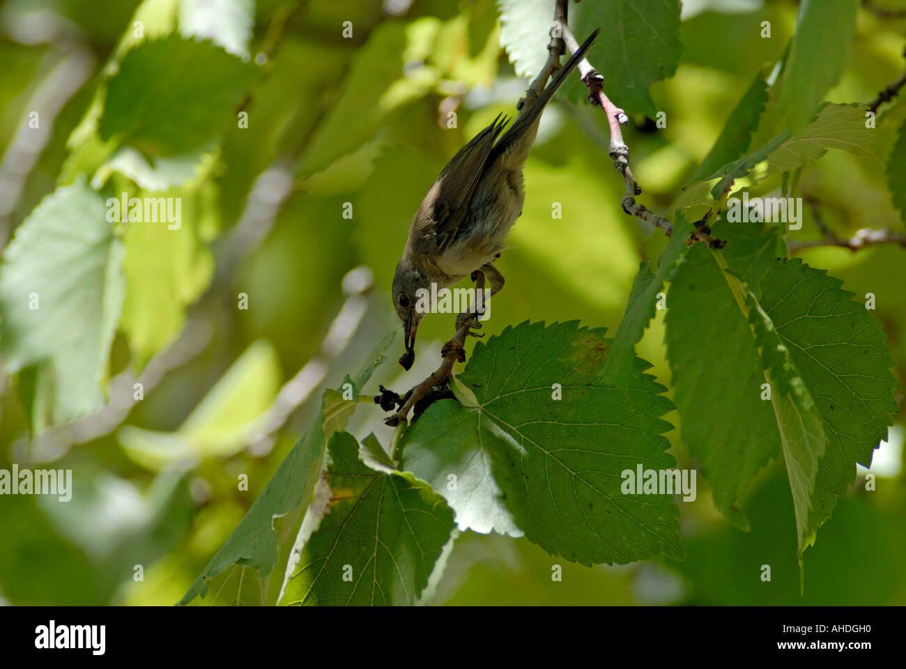 Passerine feeding on berries in shady part of tree - Stock Image