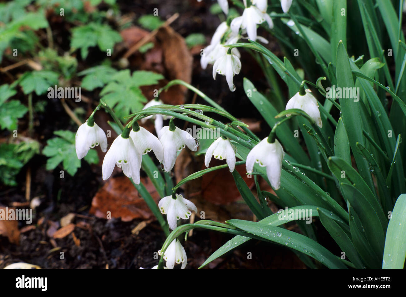 Galanthus 'Lady Beatrix Stanley', February, winter, white flower, snowdrop snowdrops, flowers - Stock Image