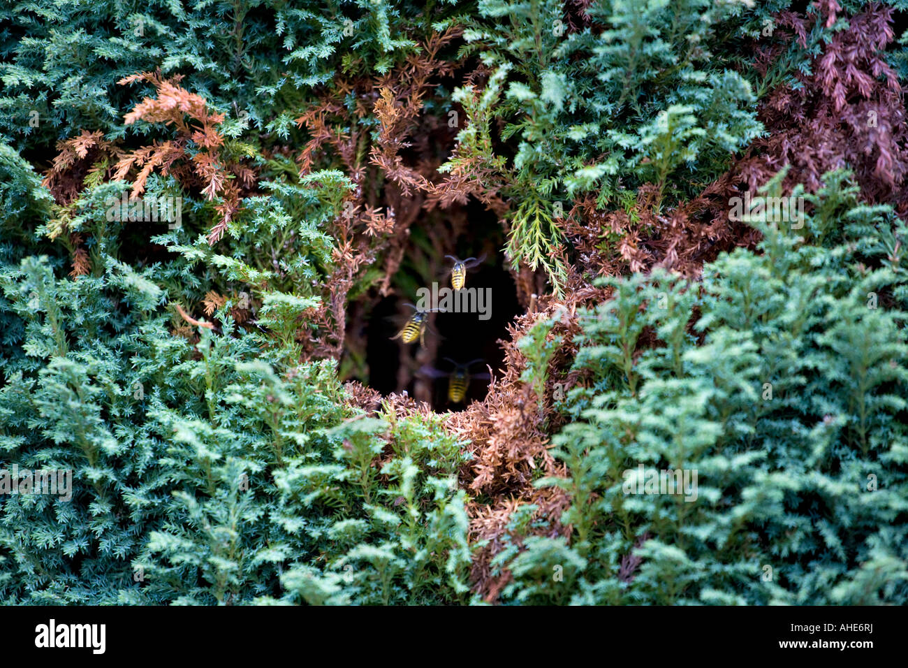 IN ESSEX WASPS HAVE BUILT A NEST IN THIS CONIFER CLOSE TO HOUSES AND EATEN A HOLE TO GAIN ENTRANCE - Stock Image