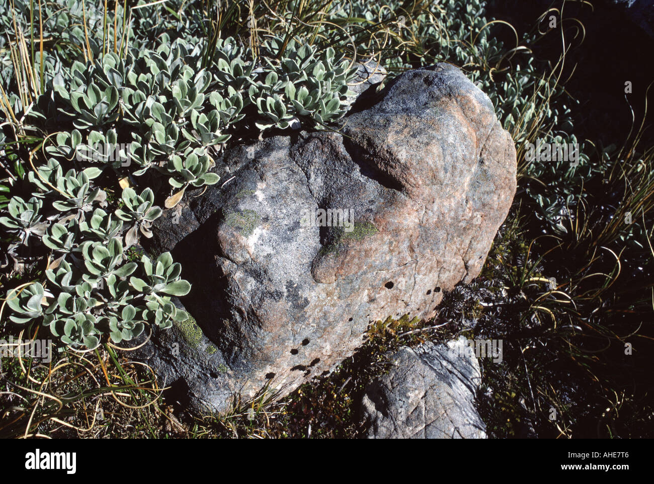 Face in rock with native plants near Arthurs Pass South Island New Zealand - Stock Image