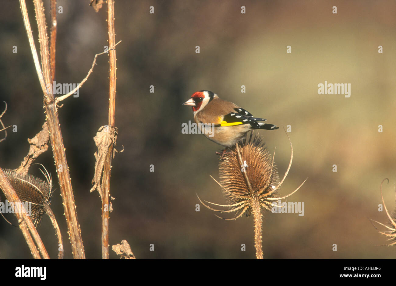 European Goldfinch Carduelis carduelis adult male perched on a Teasal seed head, Todwick, South Yorkshire, England - Stock Image