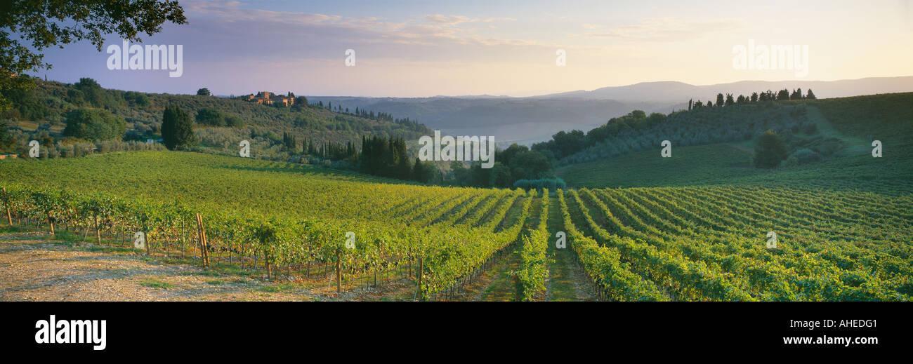 grapevines nr Barberino Val d Elsa Tuscany Chianti Italy - Stock Image