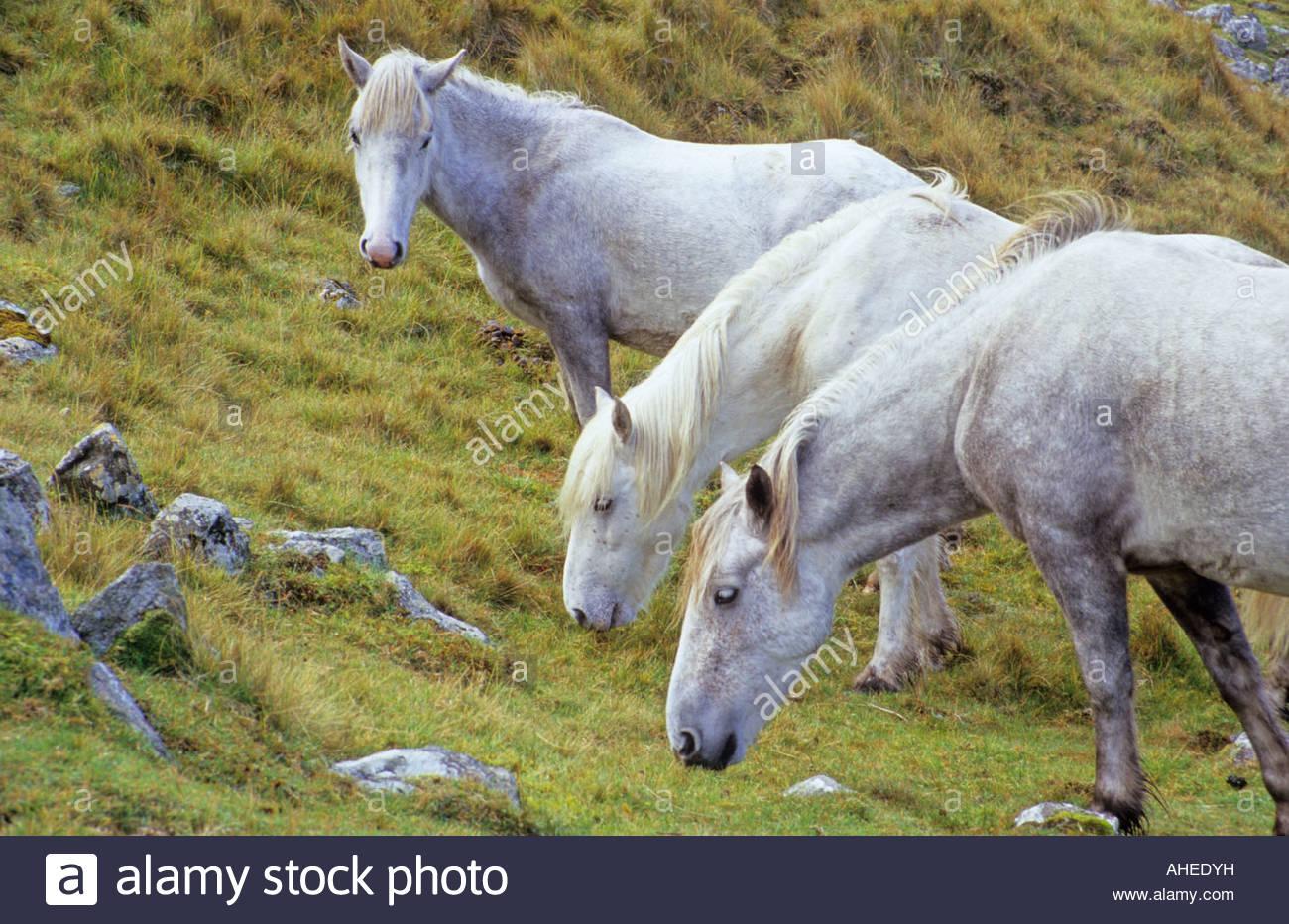 Eriskay Ponies, Scotland Stock Photo