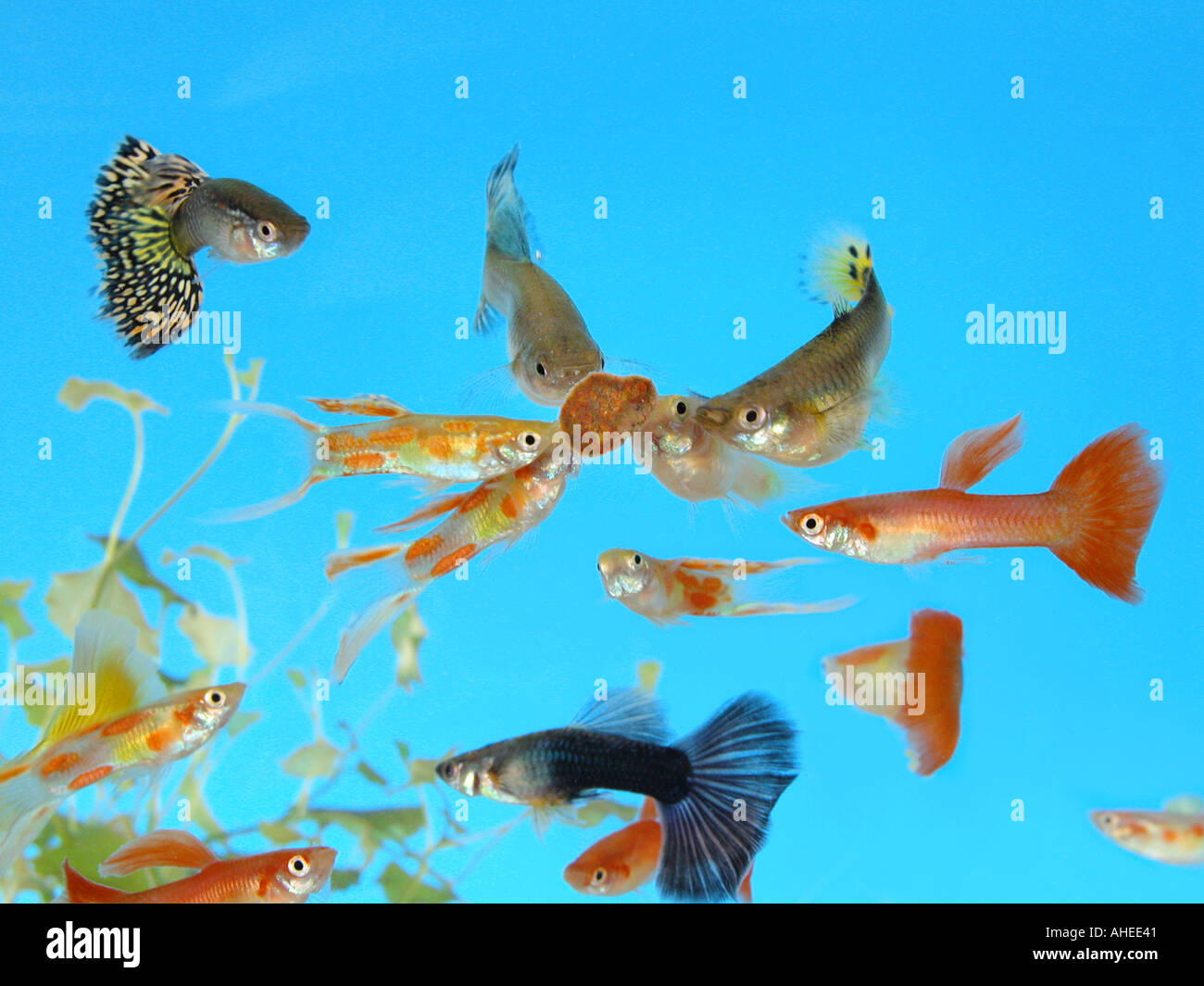 guppy fishes in a glass aquarium Stock Photo