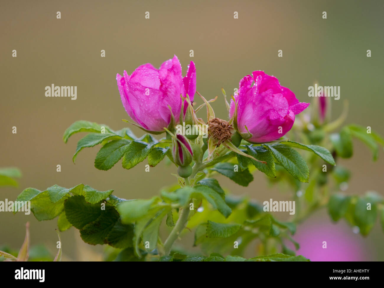 Roses in Swedish garden - Stock Image
