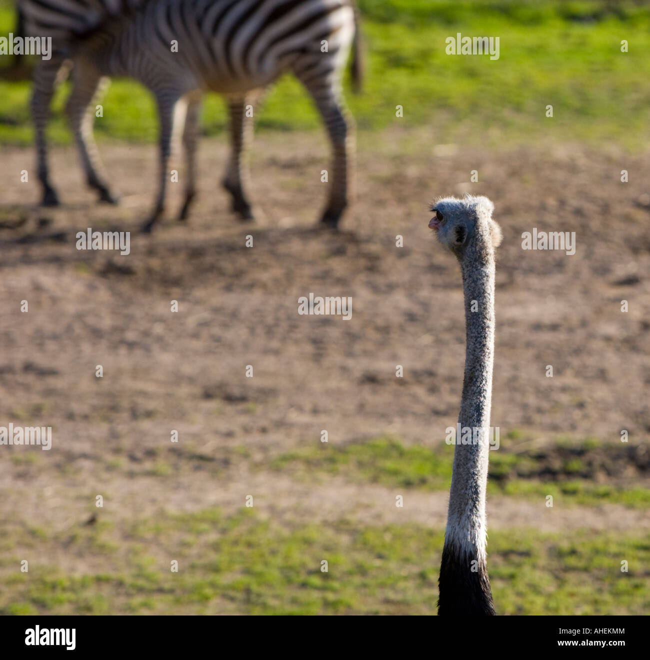 Osterage watching Zebras - Stock Image