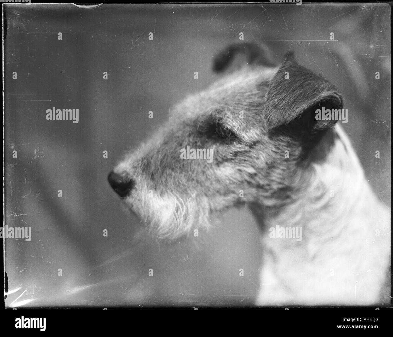 Fox Terrier Black and White Stock Photos & Images - Alamy